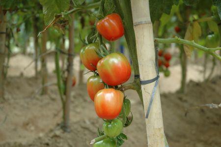 Cultivo protegido de tomate é tema de encontro em Porto União