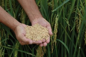 Santa Catarina fatura US$ 24 milhões com exportação de arroz em 2018