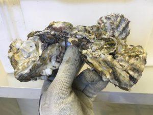 Read more about the article Epagri testa cultivo de ostras para produção de carne desconchada