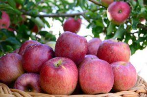 Fruticultura de clima temperado é destaque no rádio