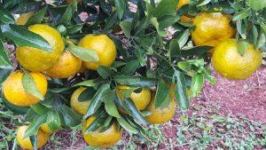 Evento vai reunir fruticultores do Sul do Brasil em Chapecó