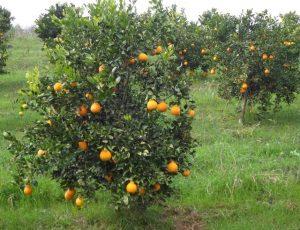 Read more about the article Produção orgânica de citros é destaque em Abdon Batista