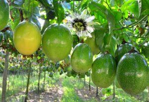 Alta produtividade na cultura do maracujá no Sul do Estado