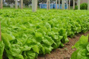 Selecionada empresa que vai multiplicar sementes de alface e tomate orgânicos da Epagri