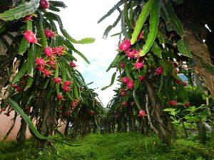 Colheita da pitaia já começou no sul catarinense