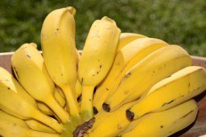 Epagri impulsiona produção de banana orgânica em seis municípios catarinenses
