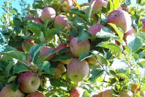Read more about the article Ciclo de palestras amplia conhecimento técnico dos produtores de maçã