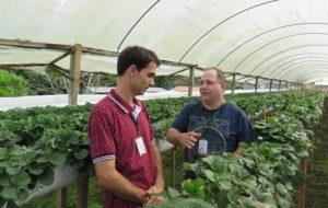 Manejo do morango semi-hidropônico é tema de encontro no Sul do Estado