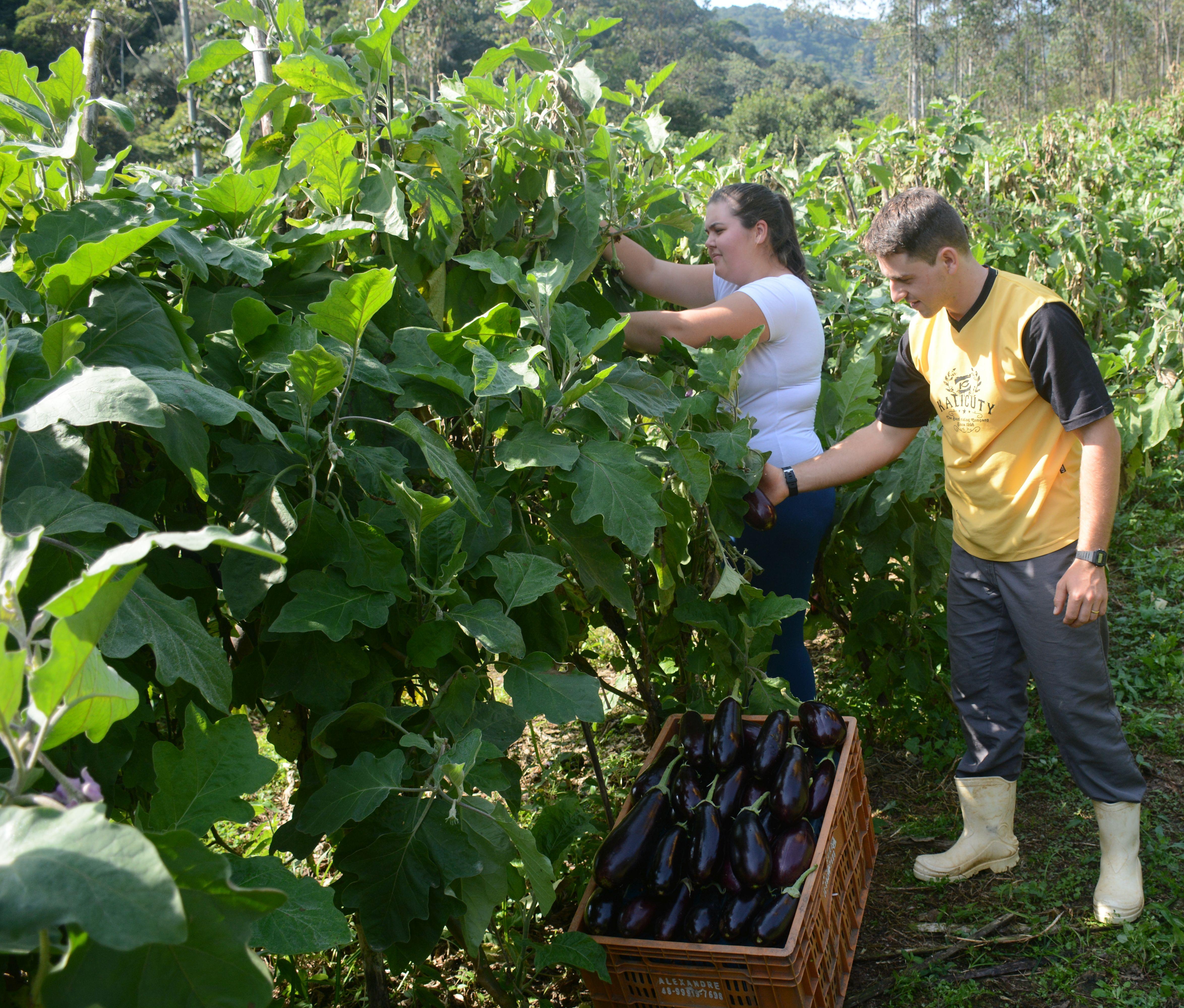 Com tecnologia da Epagri, jovem rural impulsiona a produção sustentável de hortaliças