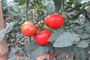 Produção integrada - hortaliça limpa