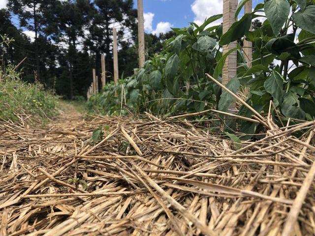 Sistema de Plantio Direto de Hortaliças (SPDH) reduz o uso de agrotóxicos