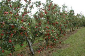 Read more about the article Epagri apresenta metodologia de mapeamento da maçã em evento nacional