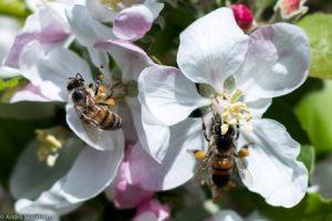 Epagri promove Dia de Campo em Caçador para discutir polinização de macieiras com drone