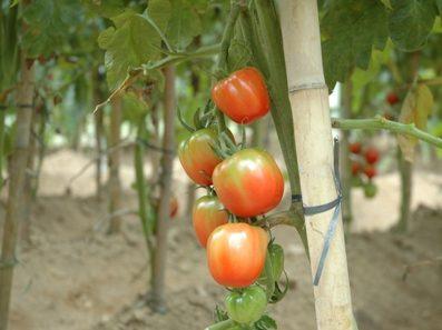 Rádio da Epagri traz estratégias para controlar doenças no tomate e no milho