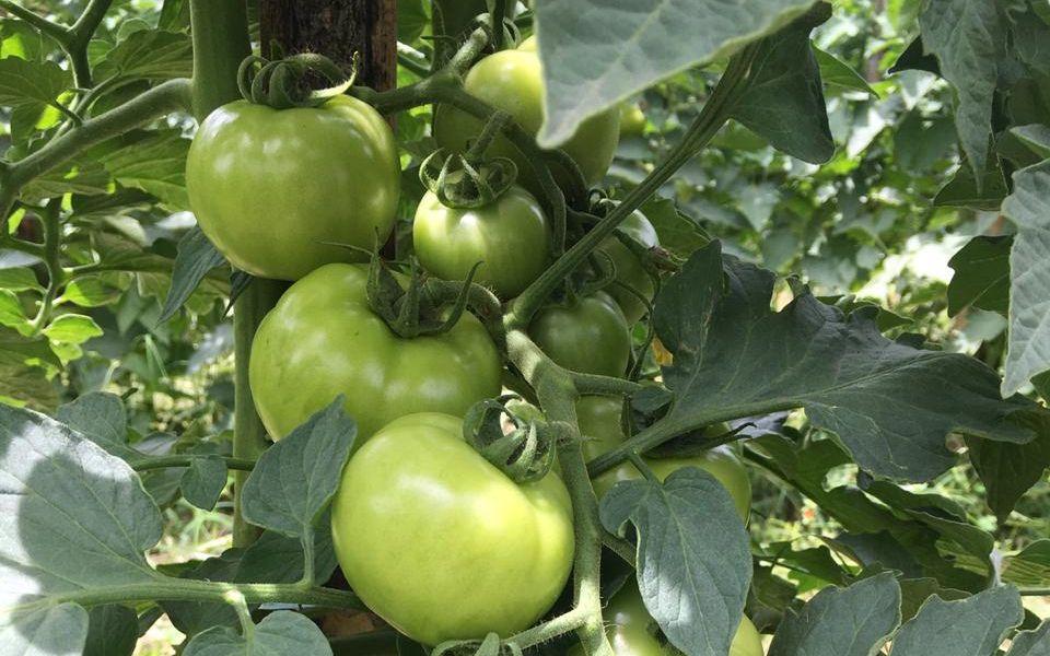 Epagri realiza dia de campo sobre SPDH de tomate em Anitápolis