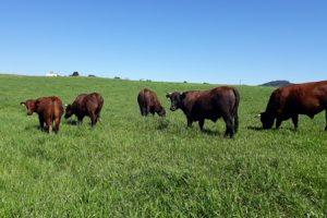 Read more about the article Pesquisa avalia sistemas forrageiros para aumentar ganho de peso do gado de corte