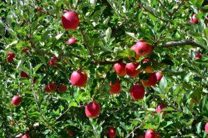 Está na hora de fazer análise foliar da macieira: aprenda a coletar amostras