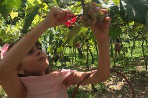 Vindima Goethe divulga a produção de vinhos no Sul de Santa Catarina