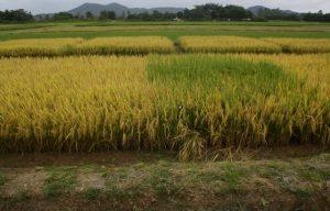 Pesquisa desenvolve alternativas para o manejo do arroz-daninho