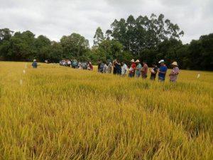 Pouso Redondo promove dia de campo sobre arroz irrigado