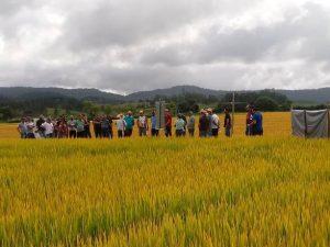 Epagri apresenta cultivares de arroz em dia de campo no Alto Vale do Itajaí