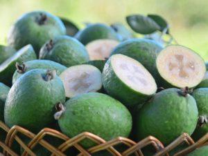 Read more about the article Pesquisa da Epagri quer popularizar a goiaba-serrana no Brasil