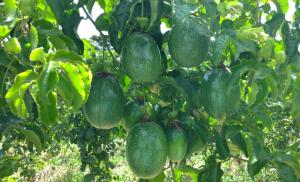 Read more about the article Epagri quer desenvolver o cultivo de maracujazeiro no Oeste Catarinense
