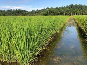 Capacitação técnica on-line discute práticas sustentáveis na cultura de arroz irrigado