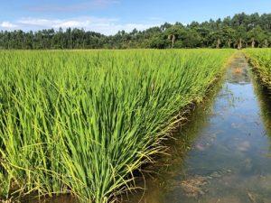 Estudo inédito da Epagri/Ciram garante dados mais precisos da área cultivada de arroz em SC