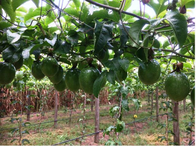 Rádio da Epagri traz orientações para produtores de maracujá
