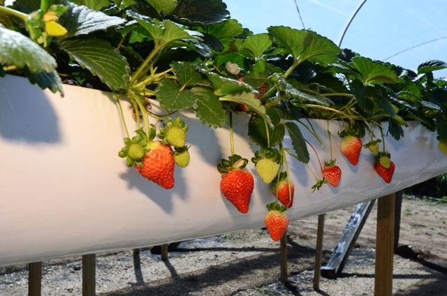 Ituporanga promove capacitação on-line sobre produção de morangos em sistema semi-hidropônico