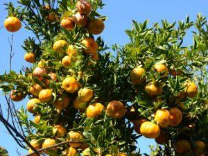 Inscrições abertas para o ciclo de palestras on-line sobre citricultura