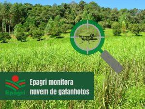 Read more about the article Nuvem de gafanhotos: Epagri aprofunda estudos sobre a praga