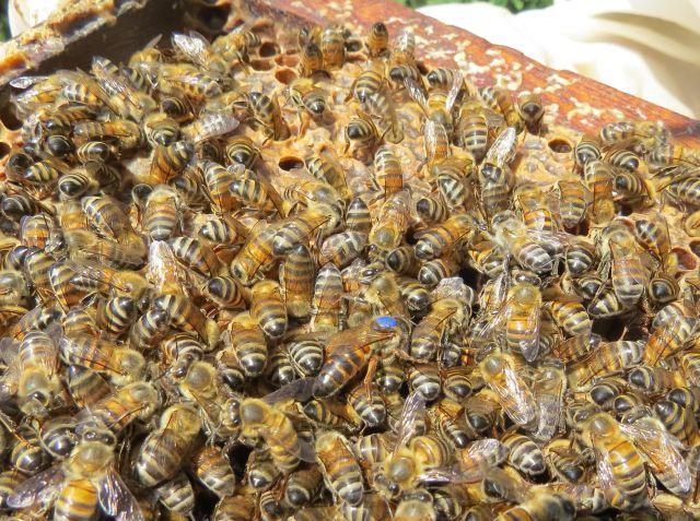 Tecnologia da Epagri para substituição de abelhas rainhas turbina produção de mel em SC