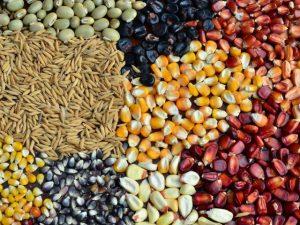 Variedades crioulas: Epagri é parceira dos guardiões de sementes em SC