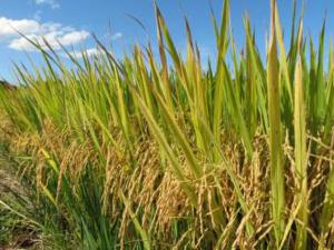 Epagri lança licitações para contratar produtores de sementes de arroz