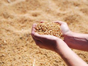 Preços de grãos e exportações de carnes em alta, aponta Boletim Agropecuário da Epagri/Cepa
