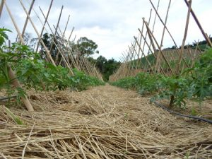 Panorama Agrícola: lavouras em SPDH são mais resistentes à estiagem