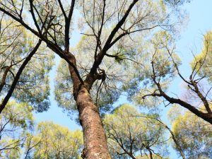 Read more about the article No Dia da Árvore, conheça a bracatinga