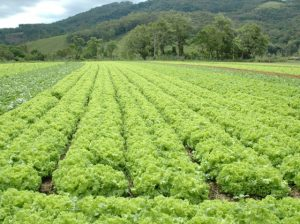 Read more about the article Olericultura injeta até R$ 610 milhões na Grande Florianópolis a cada safra