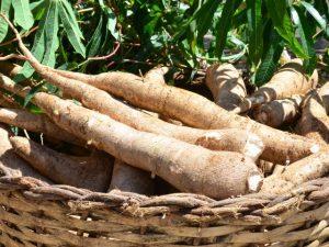 Publicação da Epagri orienta sobre a adubação da mandioca