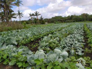 Agricultor de Itajaí experimenta consórcio de repolho com adubos verdes