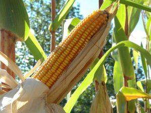 Read more about the article Estudo da Epagri com a UFSM sobre produtividade do milho insere SC em projeto mundial de segurança alimentar