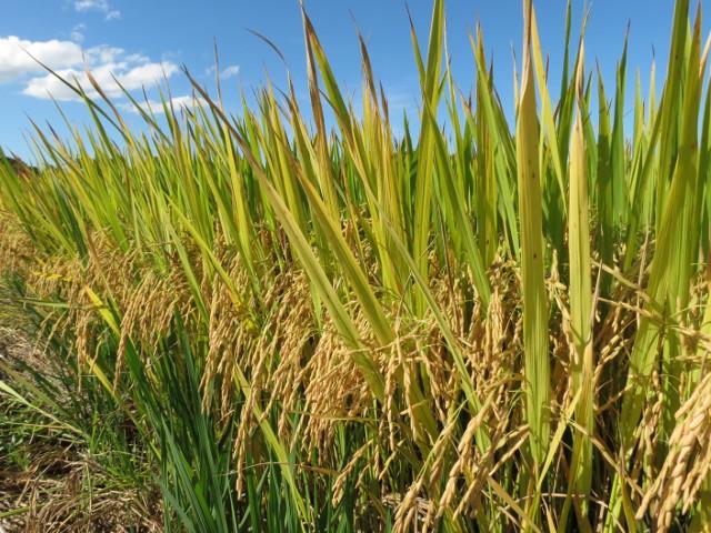 Epagri lança seu 33º cultivar de arroz na sexta-feira, 19