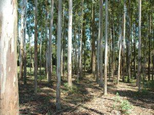 Vídeo inédito aborda o manejo de formigas cortadeiras em plantios de eucalipto e pínus