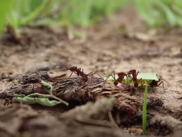 TV da Epagri: formigas cortadeiras e cigarrinha-do-milho são destaques