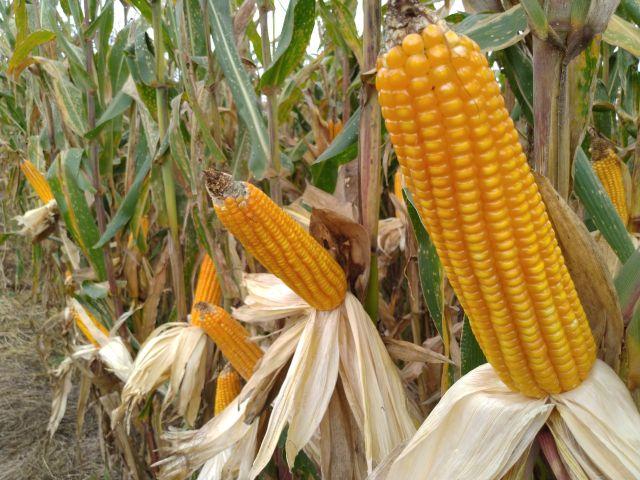 Read more about the article Epagri capacita agricultores de Campo Alegre em produção de sementes de milho VPA