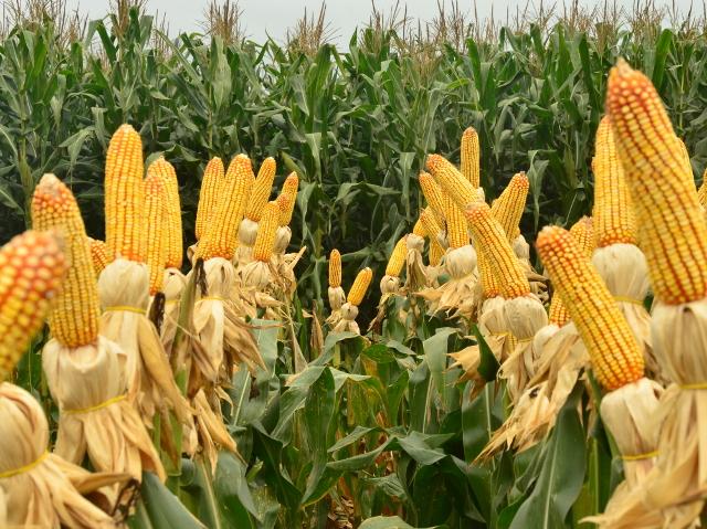 Read more about the article Artigo: 24 de abril, dia internacional do milho*