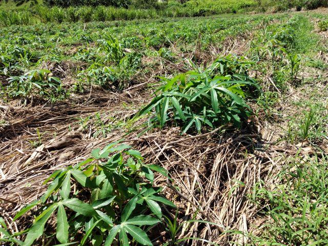 Plantio direto leva produtividade e saúde às lavouras de mandioca