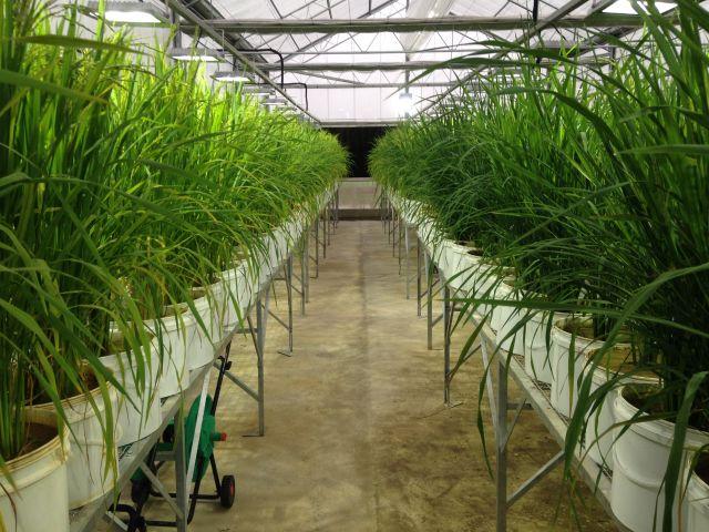 Livro sobre mutação induzida no melhoramento de plantas será lançado dia 16 de junho